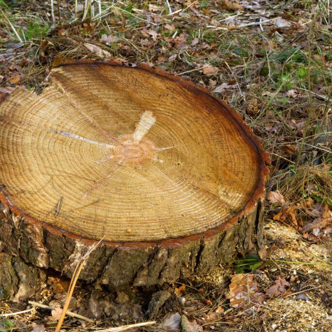 an old tree stump