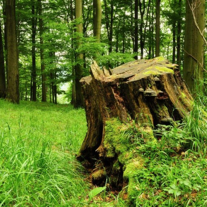 a huge tree stump with mold